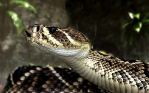 Feds arrest man after smuggling king cobras in potato chip…