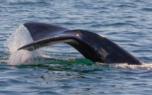 North Atlantic right whales could become extinct, officials say
