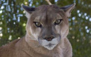 Cyclists tried to scare cougar but it attacked, killing 1