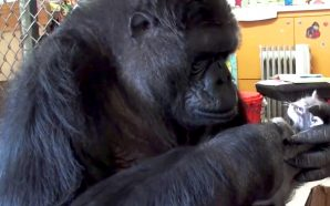 Koko the Gorilla Dead: Beloved Primate Who Mastered Sign Language…