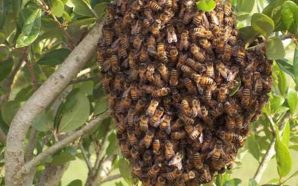 California woman covered 'head to toe' with bees in critical…