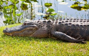 South Carolina Woman killed in apparent alligator attack saving her…