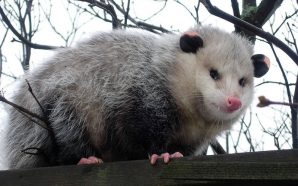 Unwanted Visitor: A Possum Snuck into the Jet's stadium to…