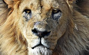 Female Lion Kills Father of Her Cubs in Fight at…