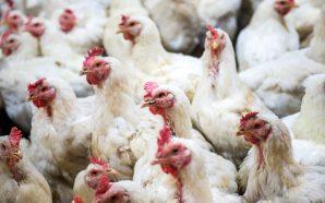 29 states hit by drug-resistant salmonella in their chicken!