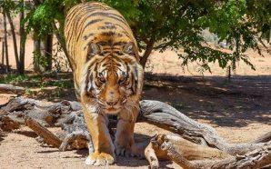 Tiger mauls wildlife director Jonathan Kraft at wildlife sanctuary and…